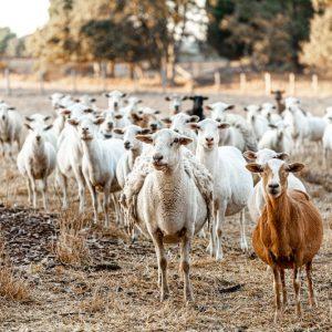 sheep-home